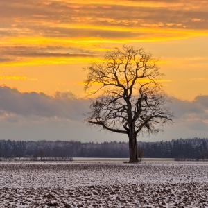 Oak Tree on snowy Fields at Sunset